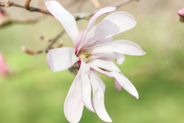Stores photo Fleur de lis Flowering Magnolia. Spring. Flowering trees. Heat. Pink flowers.