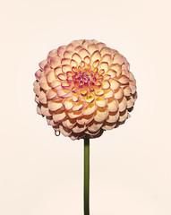 Flower head against plain background