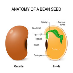 Anatomy of a bean seed.