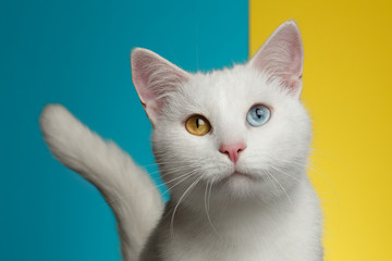 7b7cbe5ca9f Portrait of Pure White Cat with odd eyes and tail on bright Blue and Yellow  Background
