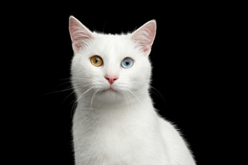 Portrait of White Cat with odd eyes on Isolated Black Background