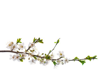 Blooming cherry branch isolated
