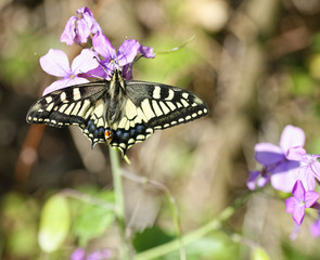 detail of Old World Swallowtail. Papilio Machaon