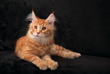Adorable calm red solid maine coon kitten lying with beautiful brushes on the ears and yellow eyes on black background. Closeup portrait