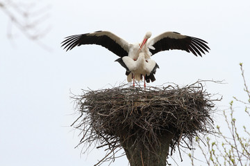 Storks is during mating. Spring-nesting birds. Migratory birds have already returned to their nests.