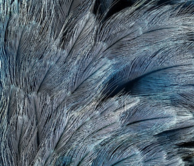natural backdrop of the bright blue feathers of the birds are different shades
