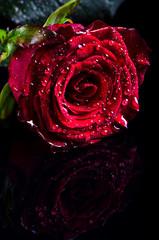 Czerwona róża z kropli wody na czarnym tle, wolna przestrzeń dla tekstu.