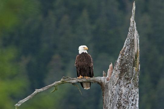 bald eagle, haliaeetus leucocephalus, Alaska