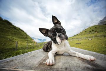 Boston Terrier in the Austrian Alps
