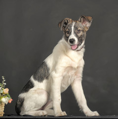 White and gray mongrel dog with flowers in basket  in the studio