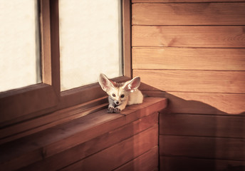 Home pet little fox sunbathing and relaxing on window sill in rustic cabin