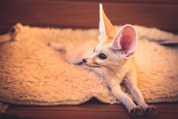Cute little pet fox relaxing on soft blanket stretching his paws