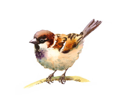 Watercolor Bird Sparrow on the Branch Hand Drawn Nature Illustration isolated on white background