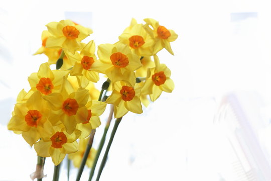 Spring daffodils isolated on plain background