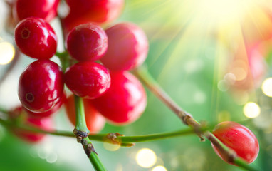 Fototapete - Coffee. Red coffee beans growing on a branch of coffee tree