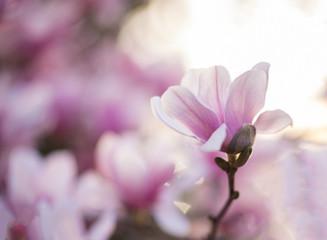Lotus magnolia flower