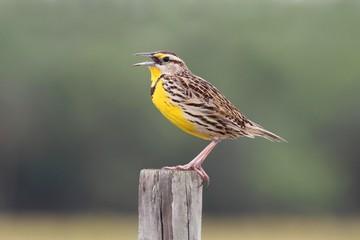 Fotoväggar - Eastern Meadowlark (Sturnella magna)