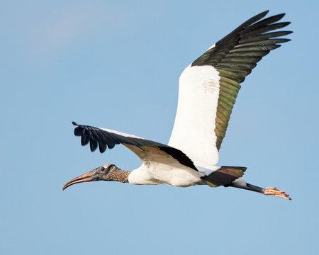 Wood Stork in Flight Against Blue Sky