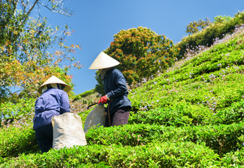 Workers in traditional hats picking bright green tea leaves