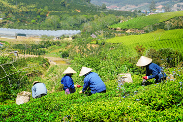 Workers in traditional hats picking upper tea leaves