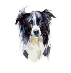 Border Collie. Portrait dog. Watercolor hand drawn illustration.