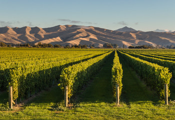 Garden Poster Vineyard New Zealand vineyards at sunset with copy space