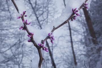 Fresh snow on a budding Redbud tree in North Carolina.