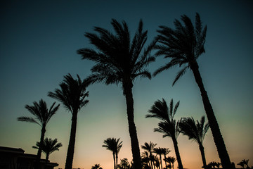 Silhouettes of palm trees against the sky during a tropical sunset. Summer vocation