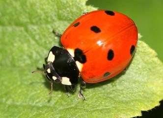 European seven-spot ladybird (Coccinella septempunctata) a.k.a. Seven-spotted ladybug.
