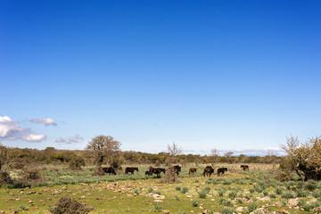 Cavalli alla Giara di Gesturi, Sardegna