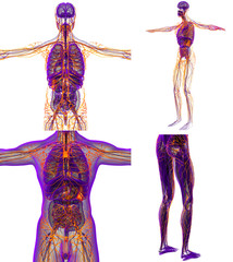 3d rendering medical illustration of the human lymphatic system