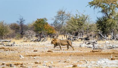 Lion walking in african savanna. Etosha national park, Namibia.