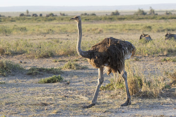 female of the common ostrich walking on dry shroud equatorial morning