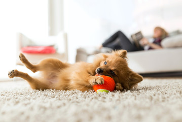 Beautiful young woman with her dog playing with ball at home.