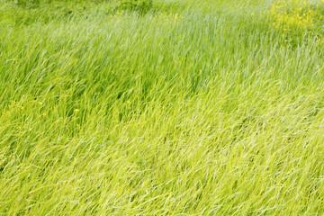 Green grass, background