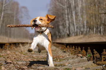 Beagle jumping with a stick in his teeth