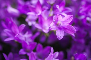 Wall Mural - Bright purple Campanula flowers, close up