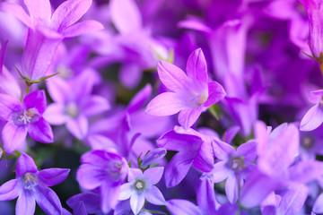 Wall Mural - Bright purple Campanula flowers, closeup