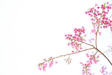Pink Cherry blossom, sakura flowers isolated on white background
