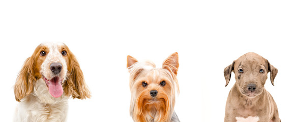Portrait of dogs, closeup, isolated on a white background