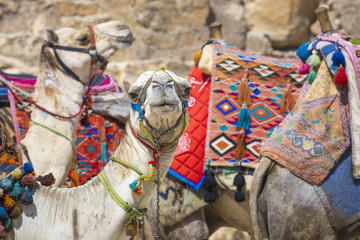 Bedouin camels rest near the Pyramids, Cairo, Egypt