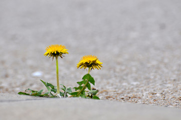 Dandelion flower growing between asphalt and curbs. Nature against man