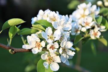 Apple Blossom. Apple flower branch