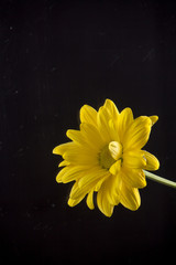 yellow chrysanthemums on black background