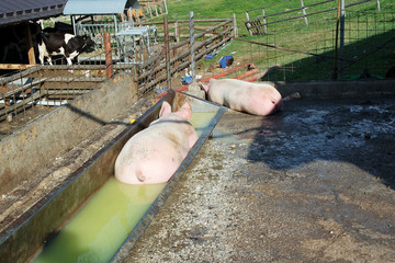 Fat pigs in a farm.