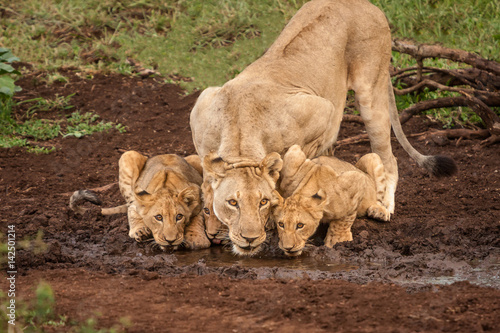 African Lioness and Cubs