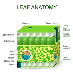 Leaf anatomy. vector diagram.