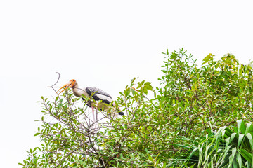 Painted Stork looking at camera, standing on big tree and holding dry branch in the forest over white sky background for copy space