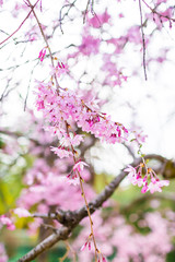 Blooming sakura. Beautiful spring pink flowers in park.