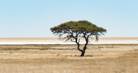single acacia tree etosha namibia